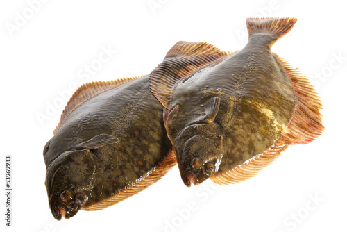 Fresh flounder, Live and freshly caught  Flounder