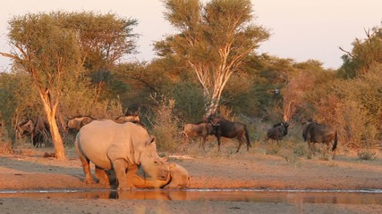 White rhinoceros with calf and wildebeest at waterhole