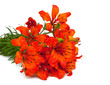 orange lilies isolated on white background