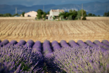 Blooming rows of lavender, Plateau of Valensole, Provence, Franc