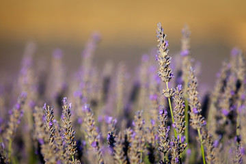 Blooming lavender, Plateau of Valensole, Provence, France