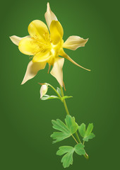 Yellow columbine flower vector