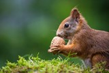 squirrel eats a nut