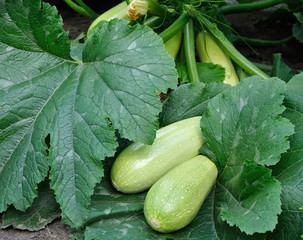 two marrows