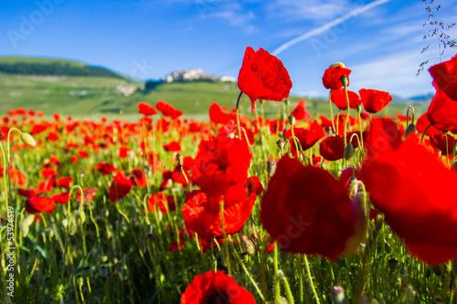 Campo di papaveri e colline a Castelluccio di Norcia