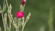 Розовый полевой цветок