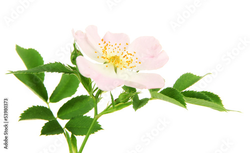 Hip rose flower, isolated on white