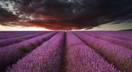 Stunning lavender field landscape Summer sunset under moody red
