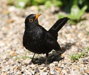 Close up of a cheeky male Blackbird