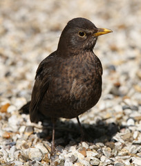 Close up of a cheeky male Blackbird