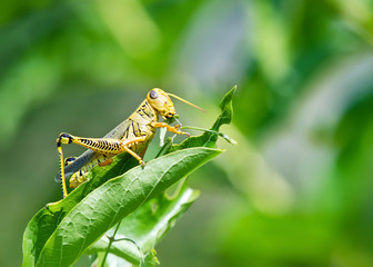 Grasshopper eating and destroying leaves