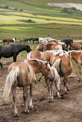 Cavalli in libertà - free horses