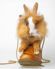 cute little brown rabbit sitting in a shoe