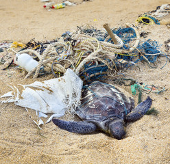 Dead turtle in fishing nets