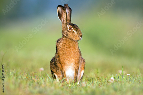 Alert Hare sitting in grass