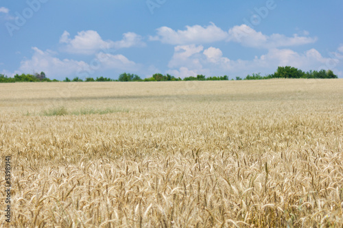 Wheat with blue cloudy sky