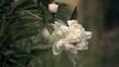 Цветение белых пионов летом