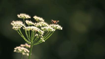 Маленькая муха и муравьи на белых цветах