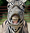 zebra smile and teeth - 53992141