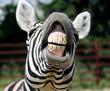 obraz - zebra smile and teeth