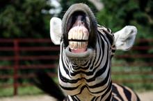 "Постер, картина, фотообои ""Zebra smile and teeth"""