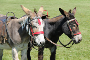 Two Donkeys Waiting to Take Children on a Ride.