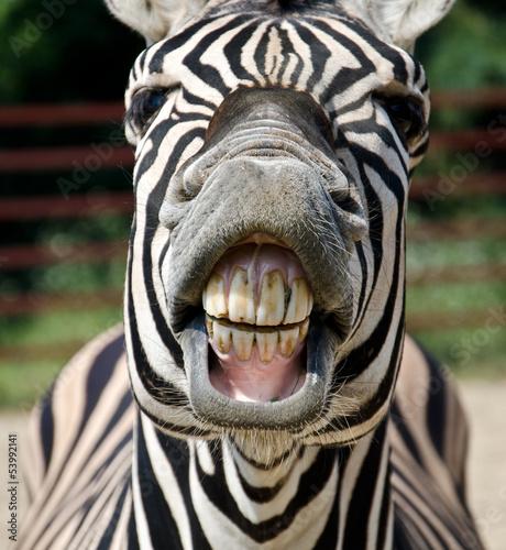 Staande foto Afrika zebra smile and teeth
