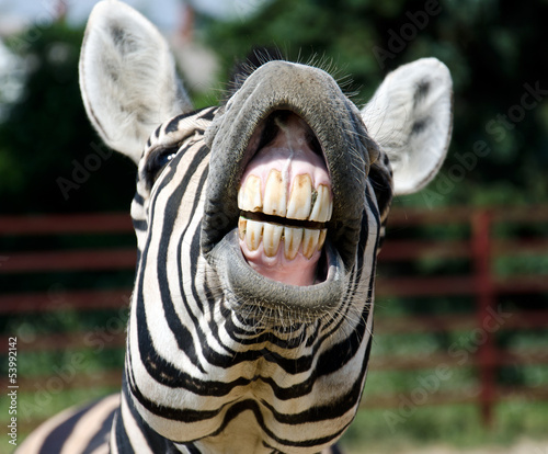Foto op Canvas Zebra zebra smile and teeth