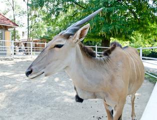 Antelope - Common eland - Taurotragus oryx