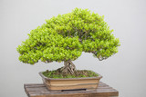 bonsai plants