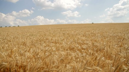 Ripe Wheat Harvest Background HD