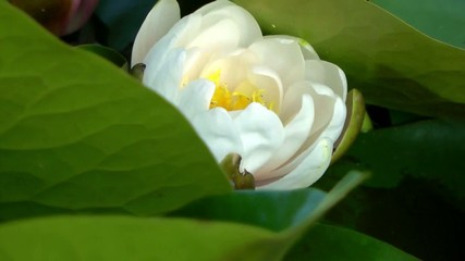 Water Lily Opening - Timelapse