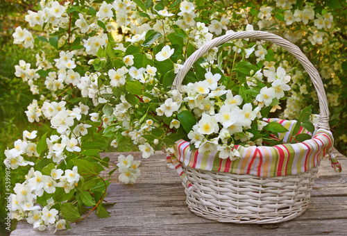 Blooming jasmine in a wicker basket on old wooden wall