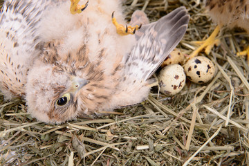 young falcon bird