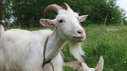 Close up of white nanny goat in countryside