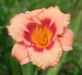 Beautiful pink daylily flower in the garden