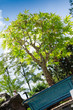 Japanischer Fächerahorn als Bonsai-Baum