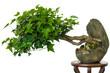 Efeu (Hedera helix) als Bonsai Baum