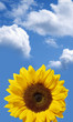 sunflower on blue sky with clouds