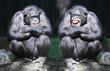 Leinwanddruck Bild - Two chimpanzees have a fun.