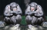 Two chimpanzees have a fun. - Fine Art prints