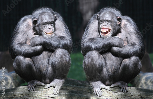 Keuken foto achterwand Aap Two chimpanzees have a fun.