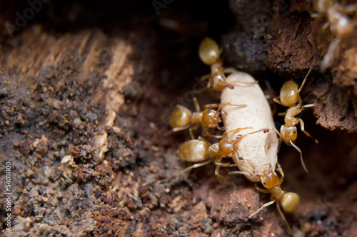 Yellow Ants defending eggs