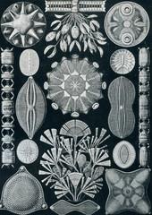 Diatoms frustules