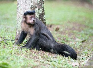Tufted Capuchin by a tree