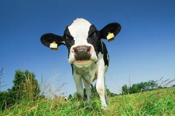 Neugierige Kuh auf Wiese