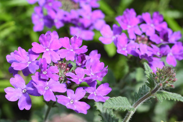 Beautiful verbena close up
