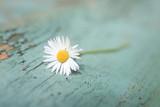 Kwiat stokrotki - 54025371