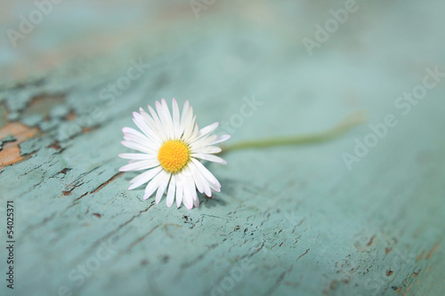 White daisy close up