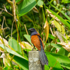 Greater coucal or Crow pheasant (Centropus sinensis) in nature